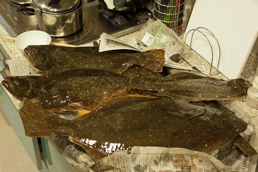釣果です。大きいヒラメの下敷きになってソゲが見えない(笑)