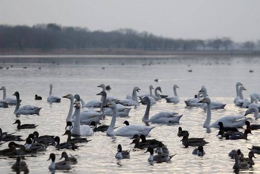 多々良湖 白鳥
