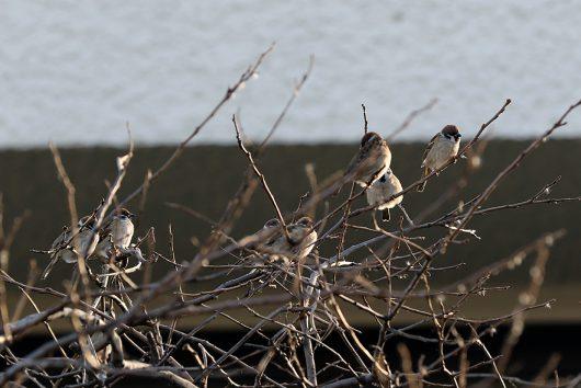 「すずめ」も立派な野鳥です。