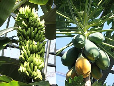 熱川バナナワニ園 分園 フルーツ