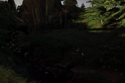 ホタルが飛び交う川