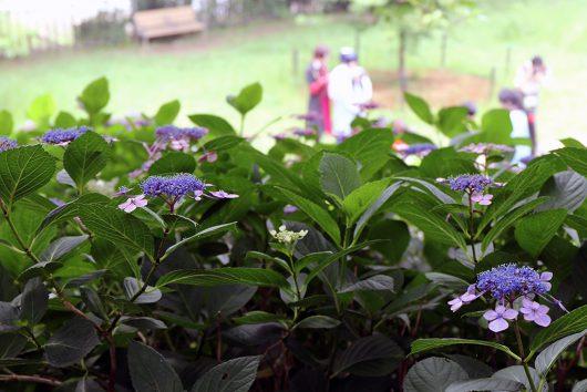 紫陽花と写真撮影に勤しむレイヤーさん達