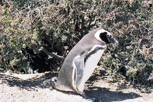 フンボルトペンギンのコロニー
