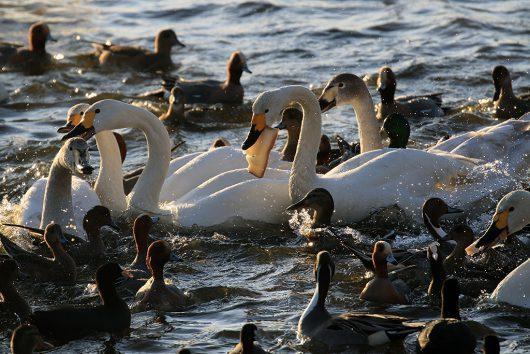 多々沼 白鳥1