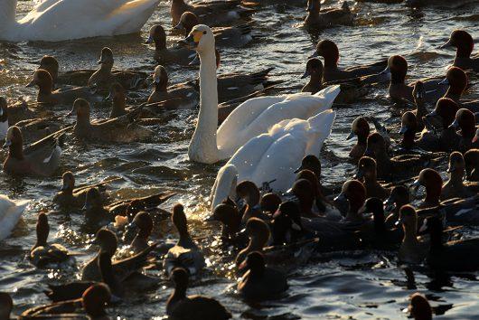 多々沼 白鳥2