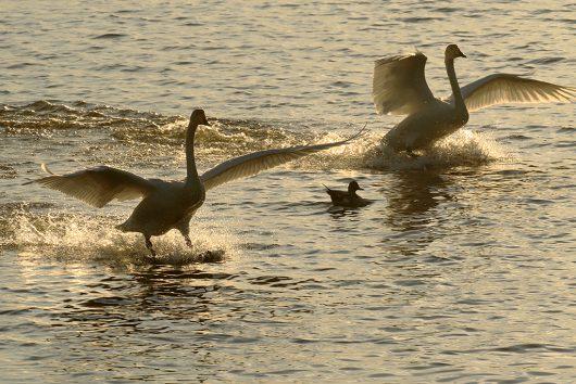 多々沼 白鳥3