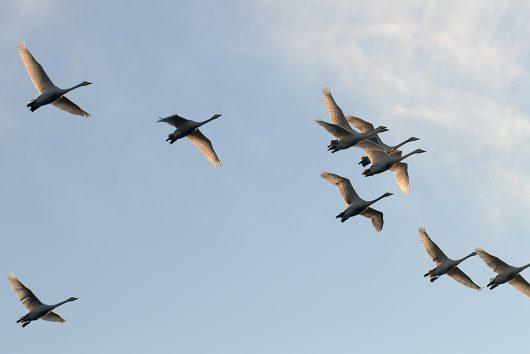 多々沼 白鳥4