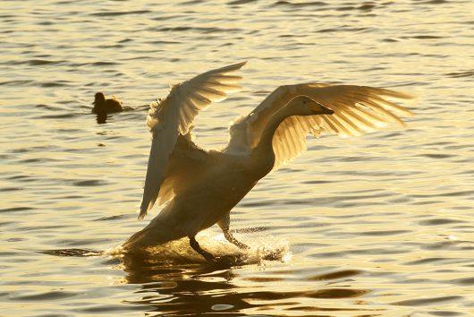 多々沼 白鳥5