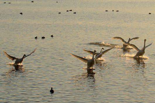 多々沼 白鳥7