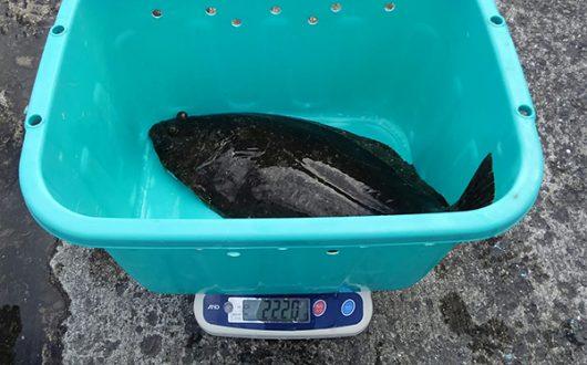 ヒラメ2.2kg