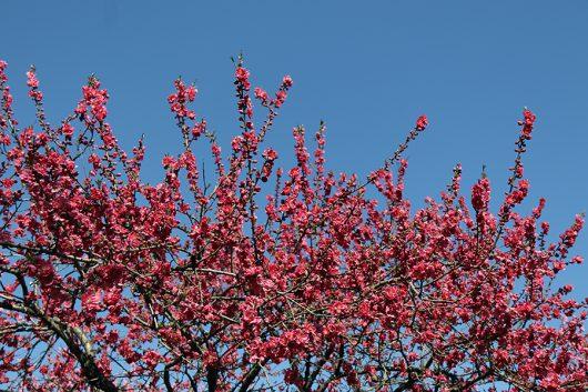 桃の花 真紅
