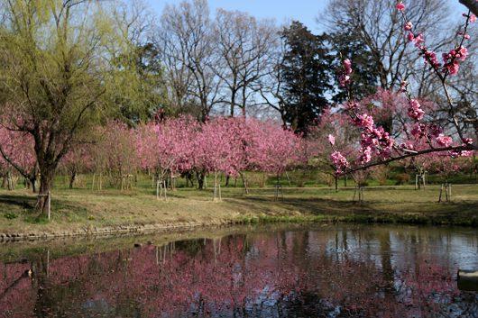 桃の花 水鏡