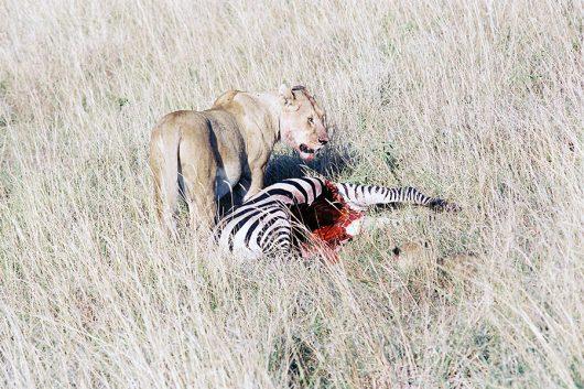 ライオンの親子の食事