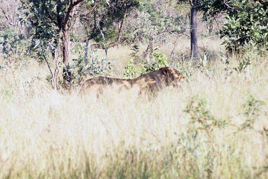 ライオンのメス